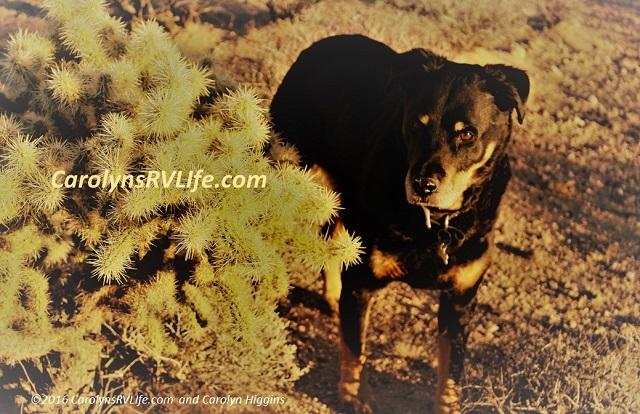 RV Dog Nevada Desert